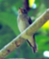 Ширококлювая мухоловка. (Muscicapa dauurica siamensis) Asian Brown Flycatcher