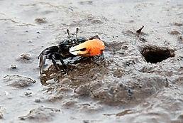 Манящий краб Watermelon Fiddler Crab (Uca crassipes)