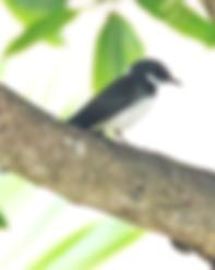 Ошейниковая веерохвостка (Rhipidura javanica Malaysian Pied-Fantail