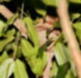 Малайский лягушкорот (Batrachostomus affinis) Blyth's Frogmouth