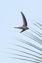 Рыжепоясничная ласточка (Cecropis daurica) Red-rumped Swallow