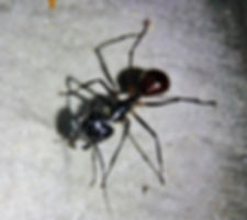 Муравей Плотник (Camponotus sp.) Carpenter Ant  в Хала Бала