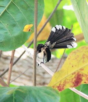 Ошейниковая веерохвостка  (Rhipidura javanica)  Malaysian Pied-Fantail