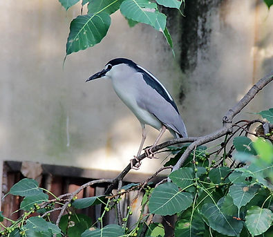 Кваква (Nycticorax nycticorax) Black-crowned Night-Heron