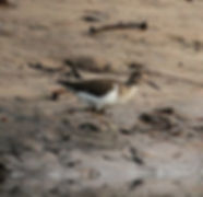 Перевозчик.  Actitis hypoleucos. Common Sandpiper