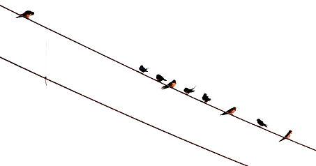Огненнобрюхая  ласточка (Cecropis badia ) Rufous-bellied Swallow