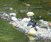 Яванский баклан (Phalacrocorax niger)