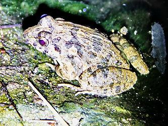 Китайская бычья лягушка (Hoplobatrachus rugulosus) Chinese edible frog
