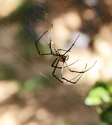 Гигантский паук. Northern golden orb weaver or Giant golden orb weaver (Nephila pilipes)