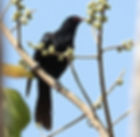 Коэль, самец. Eudynamys scolopaceus.  Asian Koel, male