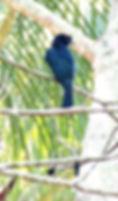 Большой Ракетохвостый дронго.  Dicrurus paradiseus. Greater Racket-tailed Drongo