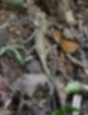 Калот-кровосос. ( Calotes versicolor) Oriental garden lizard, Самка.