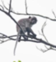 Макак-крабоед или Яванский макак (Macaca