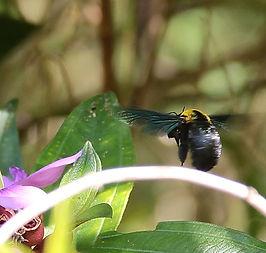 пчела-плотник Xylocopa