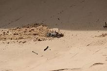 Рогатый краб-призрак  (Ocypode ceratophthalma)  Horned ghost crab