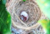 Гнездо Бюльбюля Бленфорда (Pycnonotus blanfordi) Streak-eared Bulbul