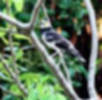 Черношейный скворец.  Gracupica nigricollis. Black-collared Starling