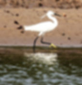 Малая белая цапля (Egretta garzetta)  Little Egret