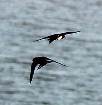 Коричневогорлая ласточка,  (Hirundo tahitica)   Pacific Swallow