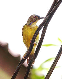 Серогорлая нектарница (Anthreptes malacensis) Plain-throated Sunbird
