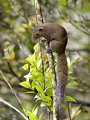 grey-bellied-squirrel_3237.jpg