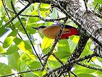 Мангровая питта (Pitta megarhyncha) Mangrove Pitta. Krabi