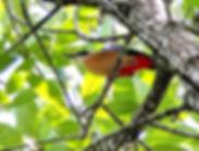 Мангровая питта (Pitta megarhyncha)