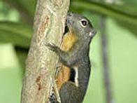 Трёхцветная белка (Callosciurus notatus