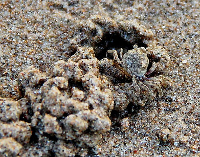 Краб-борбатер Scopimera sp. Sand bubbler