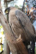Большой хохлатый змееяд (Spilornis cheela) Crested Serpent-Eagle