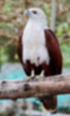 Браминский коршун (Haliastur indus) Brahminy Kite