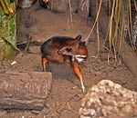 Малый оленёк, или канчиль, или яванский малый канчиль (Tragulus javanicus)