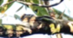 Бирманская (или гималайская) полосатая белка (Tamiops mcclellandii)    Himalayan striped