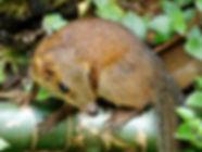 Обыкновенная тупайя (Tupaia glis),