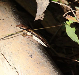 Лесной сцинк (Sphenomorphus maculatus) Spotted forest skink