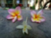 Цветы Плюмерии Таиланд