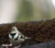 Древесная трясогузка (Dendronanthus indicus) Forest Wagtail