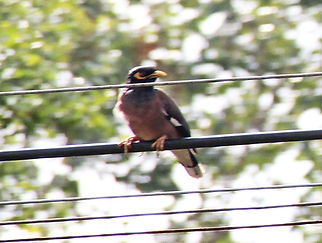 Майна (Acridotheres tristis) Common Myna