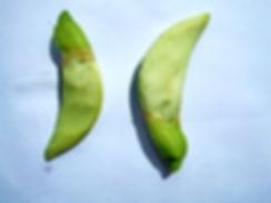 Сесбания крупноцветковая (Sesbania grandiflora)