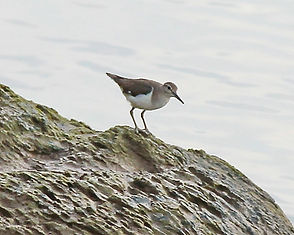 Перевозчик  (Actitis hypoleucos) Common Sandpiper