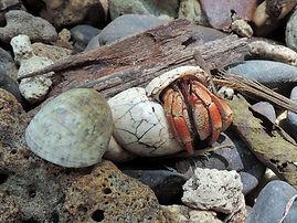 Рак-отшельник (Coenobita perlatus) Strawberry hermit crab