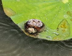 Улитка пресноводная Bithynia funiculata