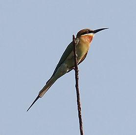 Синехвостая щурка (Merops philippinus) Blue-tailed Bee-eaters
