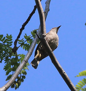 Бюльбюль Бленфорда (Pycnonotus blanfordi