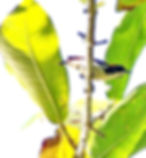 Алый цветосос (Dicaeum cruentatum) Scarlet-backed Flowerpecker