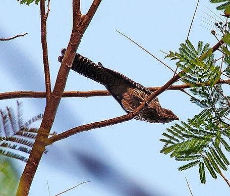 Коель  (Eudynamys scolopaceus)  Asian Koel. Самка