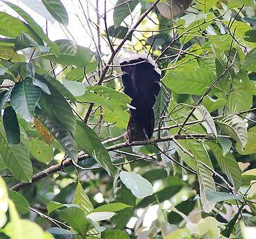 Малайская кустарниковая кукушка (Rhinort