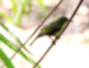 Рубиновощёкая нектарница  Anthreptes singalensis  Ruby-cheeked Sunbird