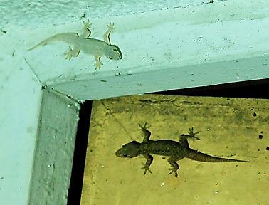 Домовые гекконы