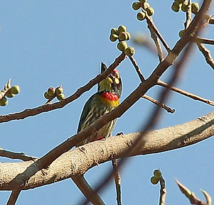 Красноголовый бородастик.  Magalaima haemacephalus. Coppersmith Barbet